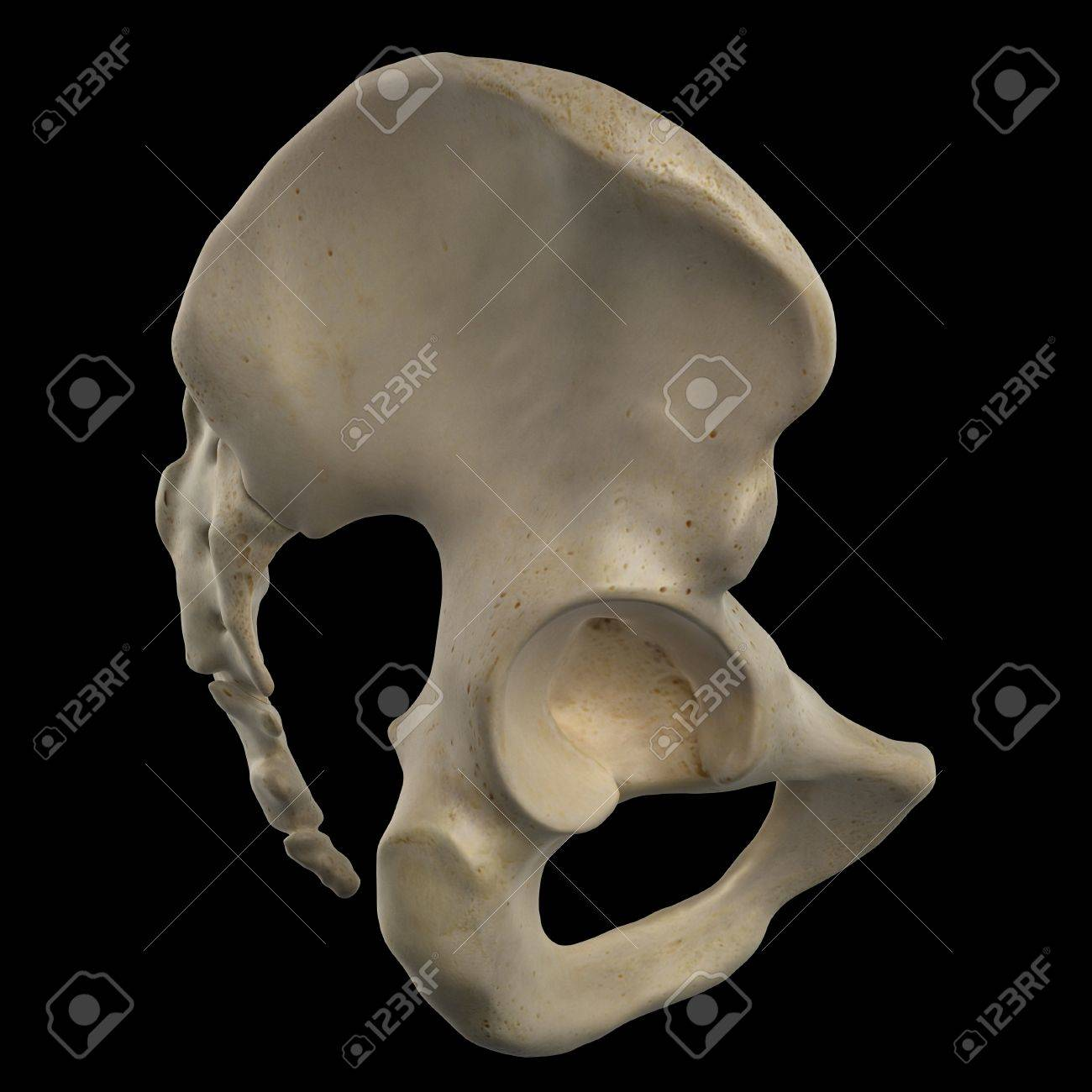 Human Hip Bone Artwork Stock Photo Picture And Royalty Free Image