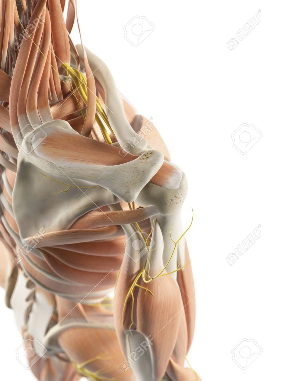 Shoulder Muscles And Nerves, Artwork Stock Photo, Picture And ...