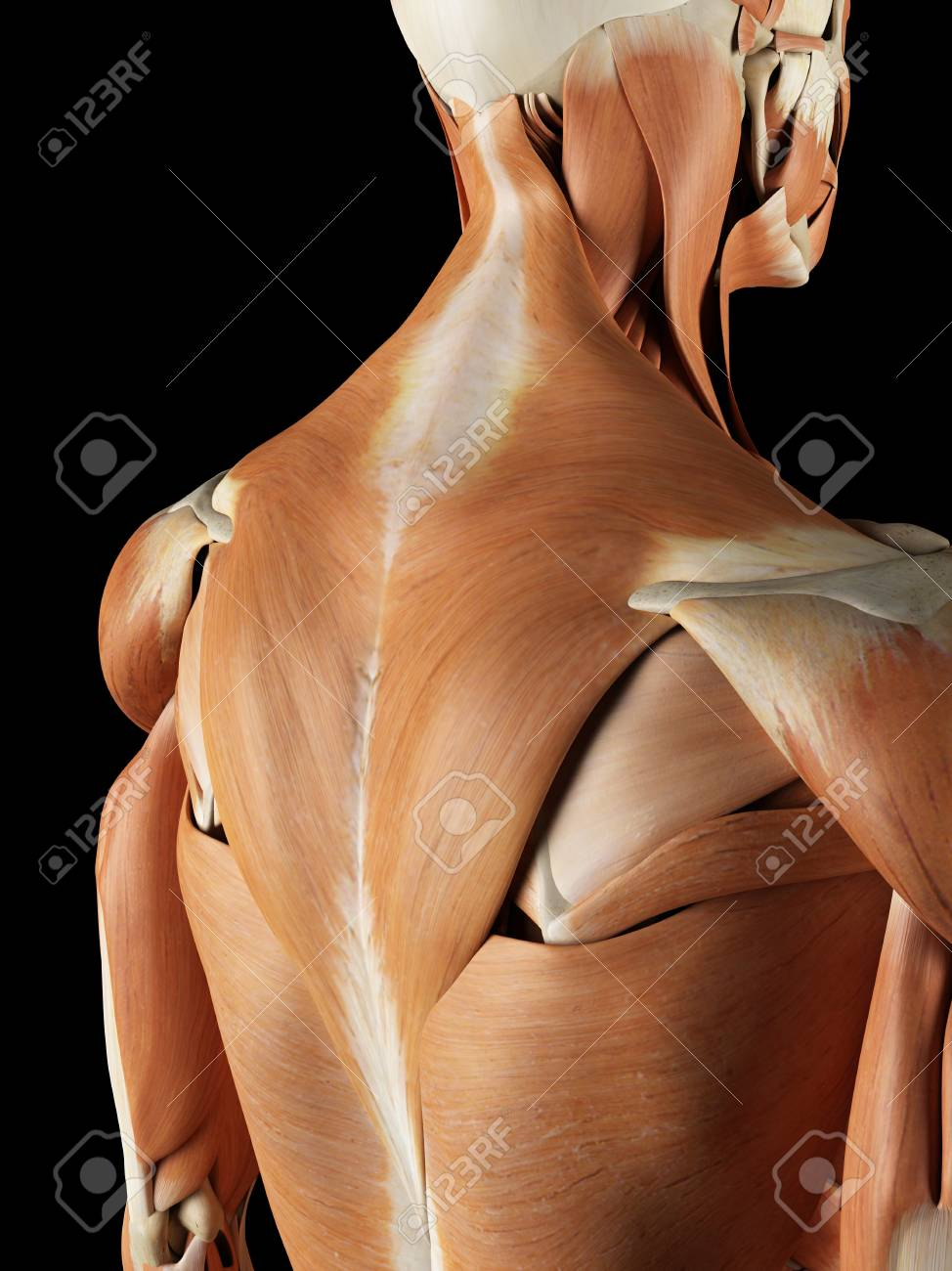 Moderno Músculos De La Espalda Diagrama De La Anatomía Cresta ...