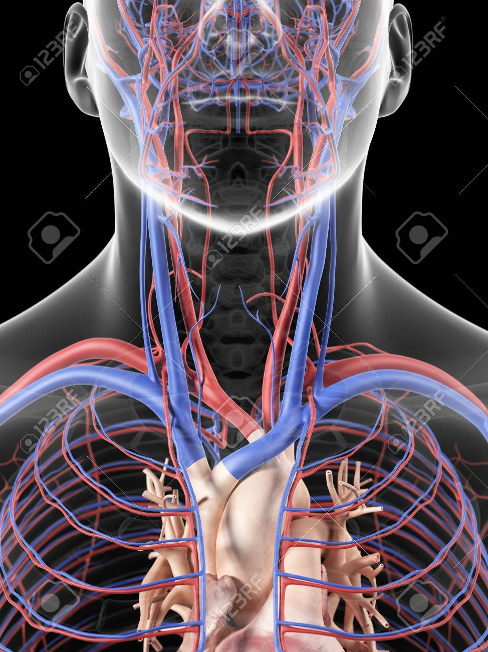 Blood Vessels In Neck, Artwork Stock Photo, Picture And Royalty Free ...
