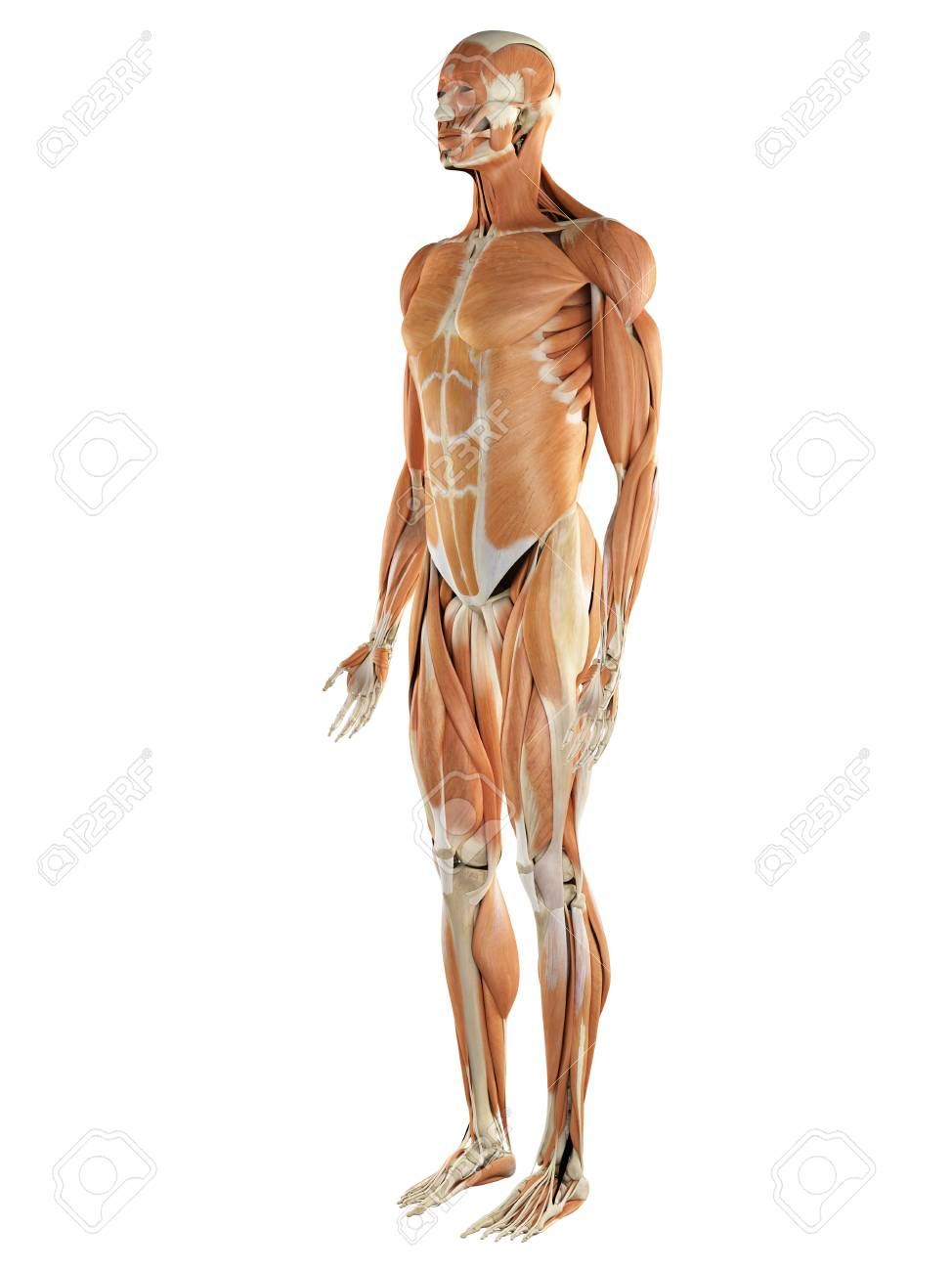 musculoskeletal system artwork stock photo 76205630