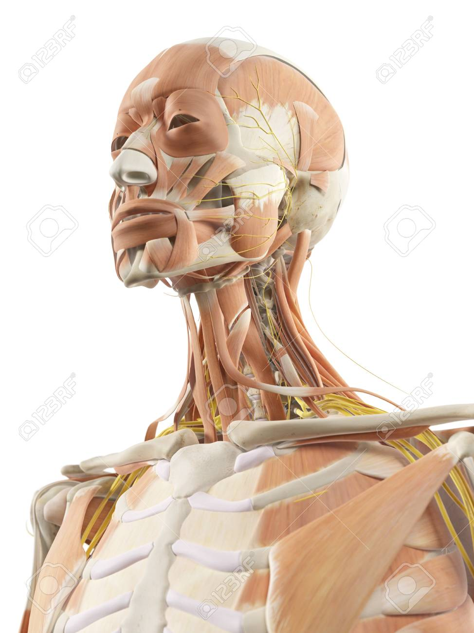 Neck Muscles And Nerves, Artwork Stock Photo, Picture And Royalty ...