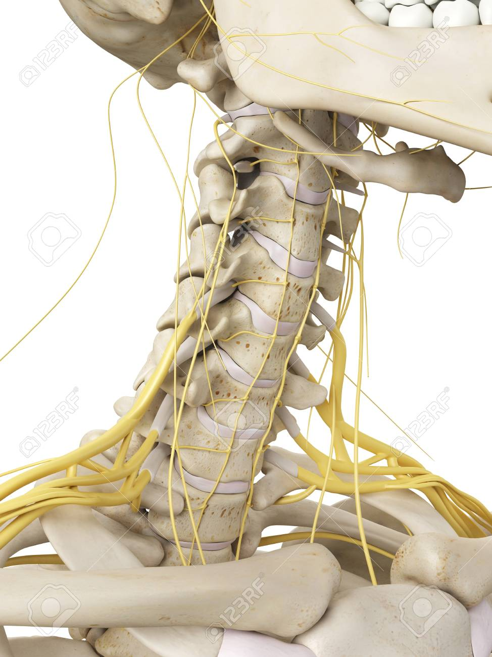 Neck Bones And Nerves, Artwork Stock Photo, Picture And Royalty Free ...