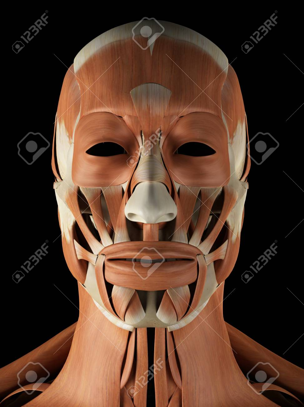 Human Facial Muscles Artwork Stock Photo Picture And Royalty Free