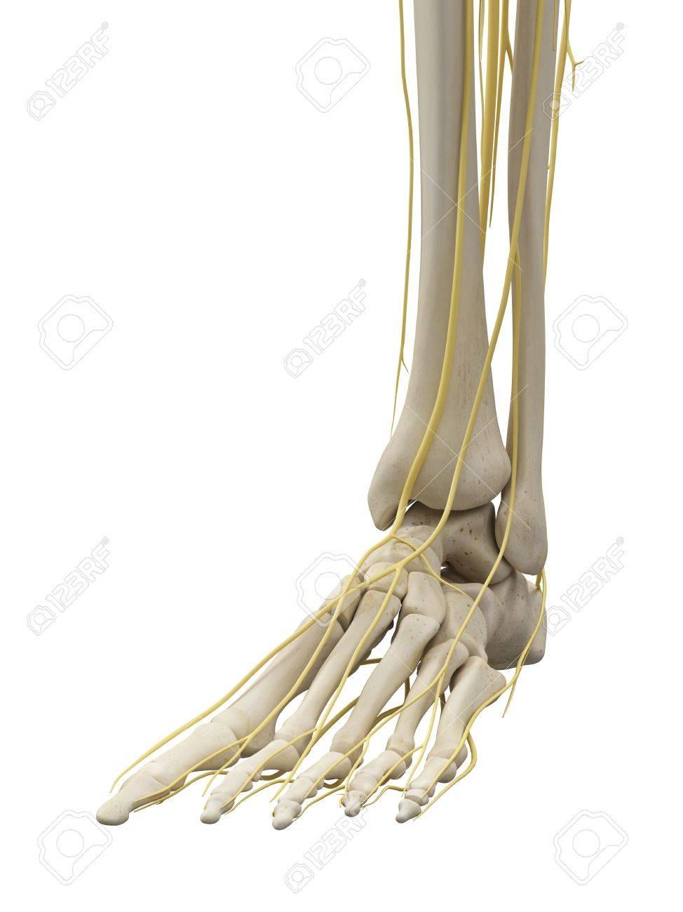 Gemütlich Bein Und Fußknochen Bilder - Anatomie von Menschlichen ...