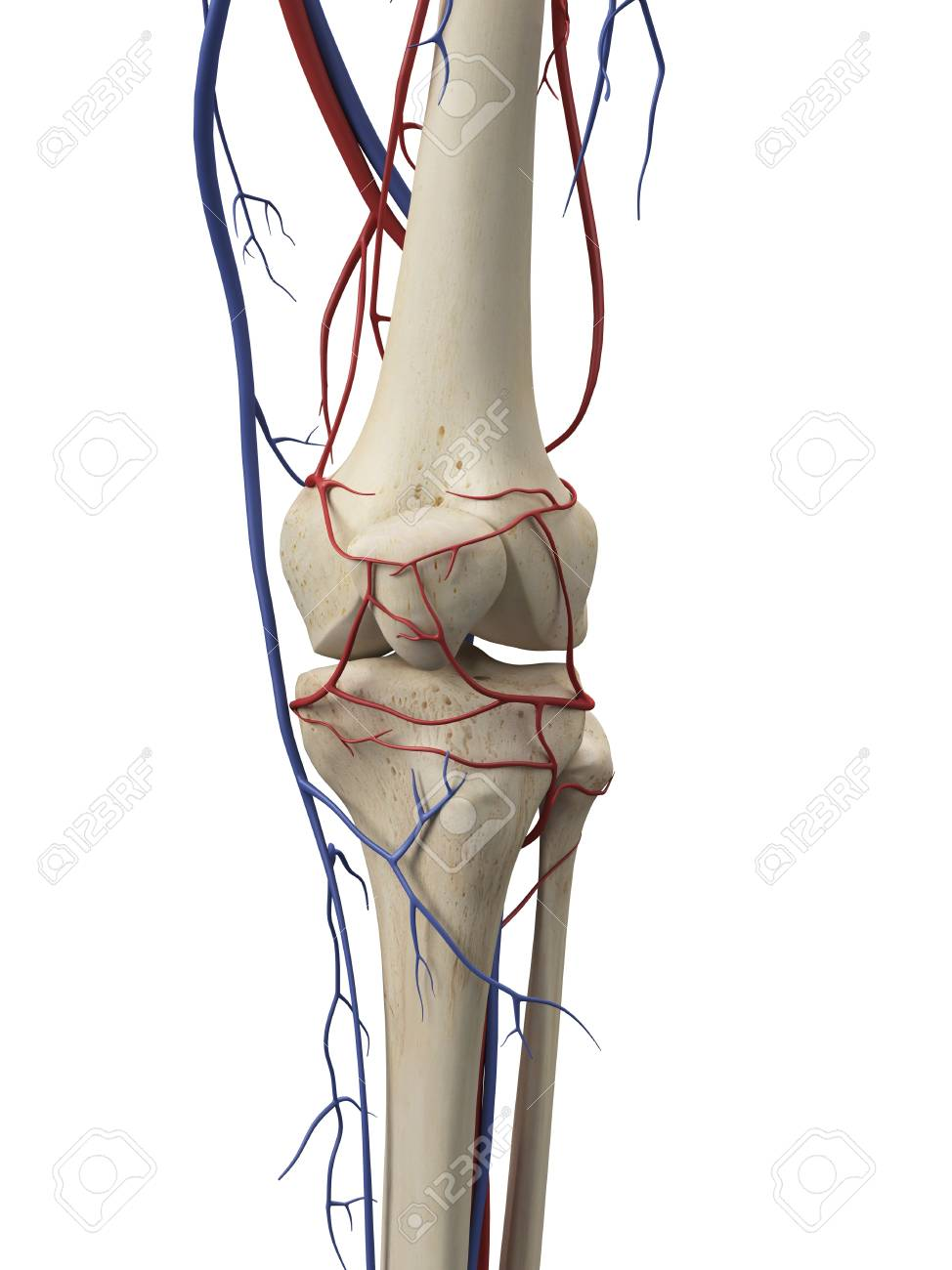 Vascular System, Artwork Stock Photo, Picture And Royalty Free Image ...
