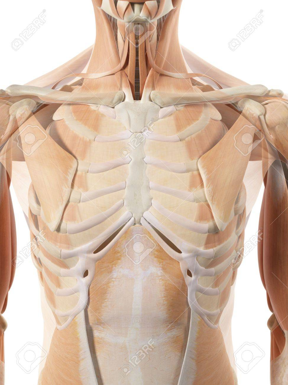 Thoracic Muscles Artwork Stock Photo Picture And Royalty Free
