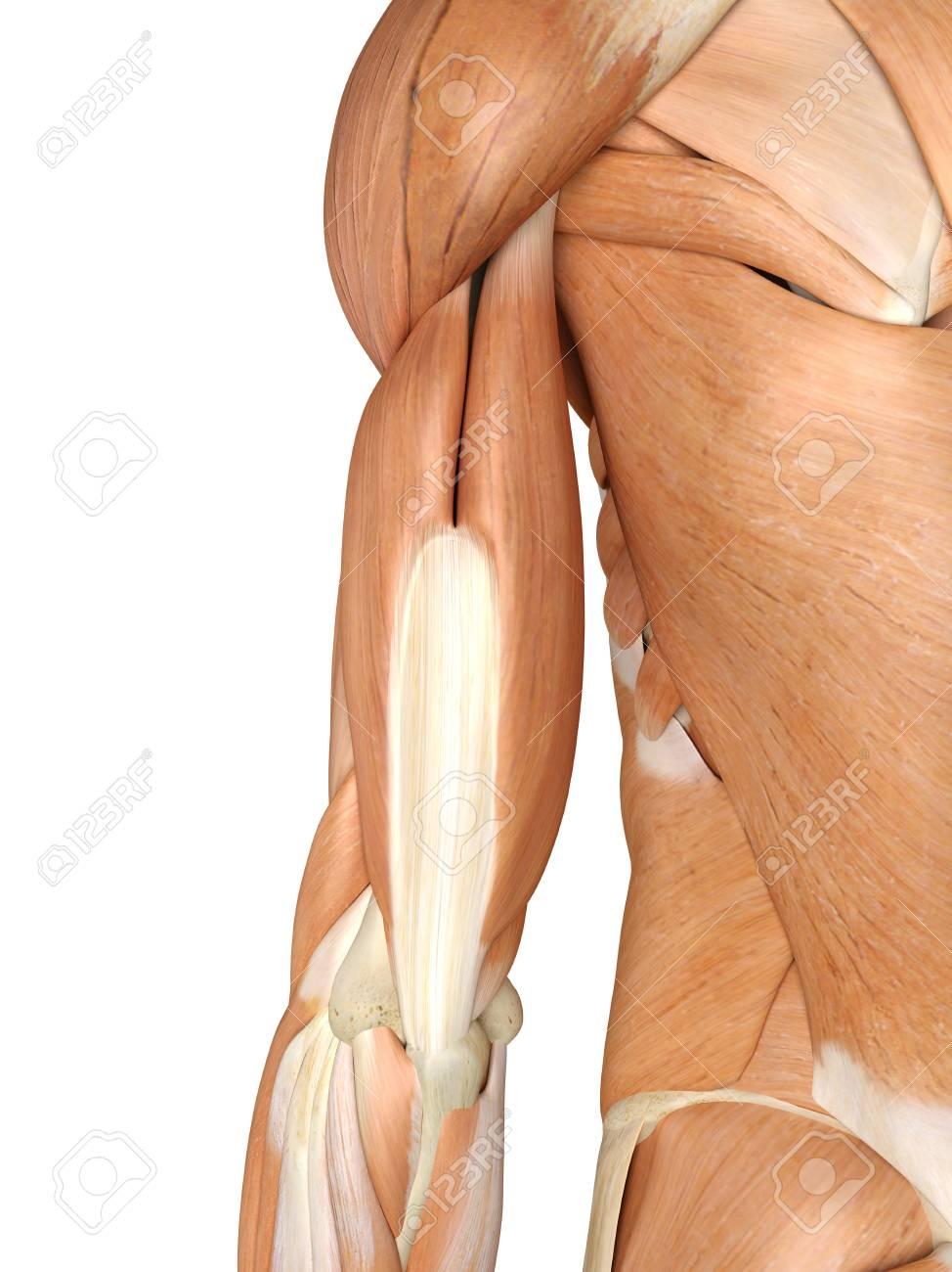 Lujoso Músculos De Los Brazos Ornamento - Anatomía de Las ...