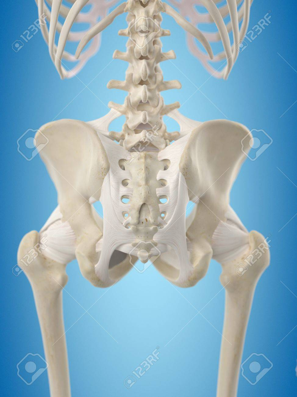 Human Hip Tendons, Artwork Stock Photo, Picture And Royalty Free ...