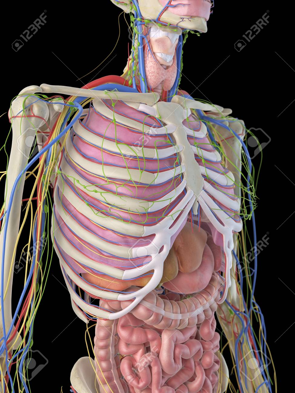 Human Ribcage And Organs, Artwork Stock Photo, Picture And Royalty ...