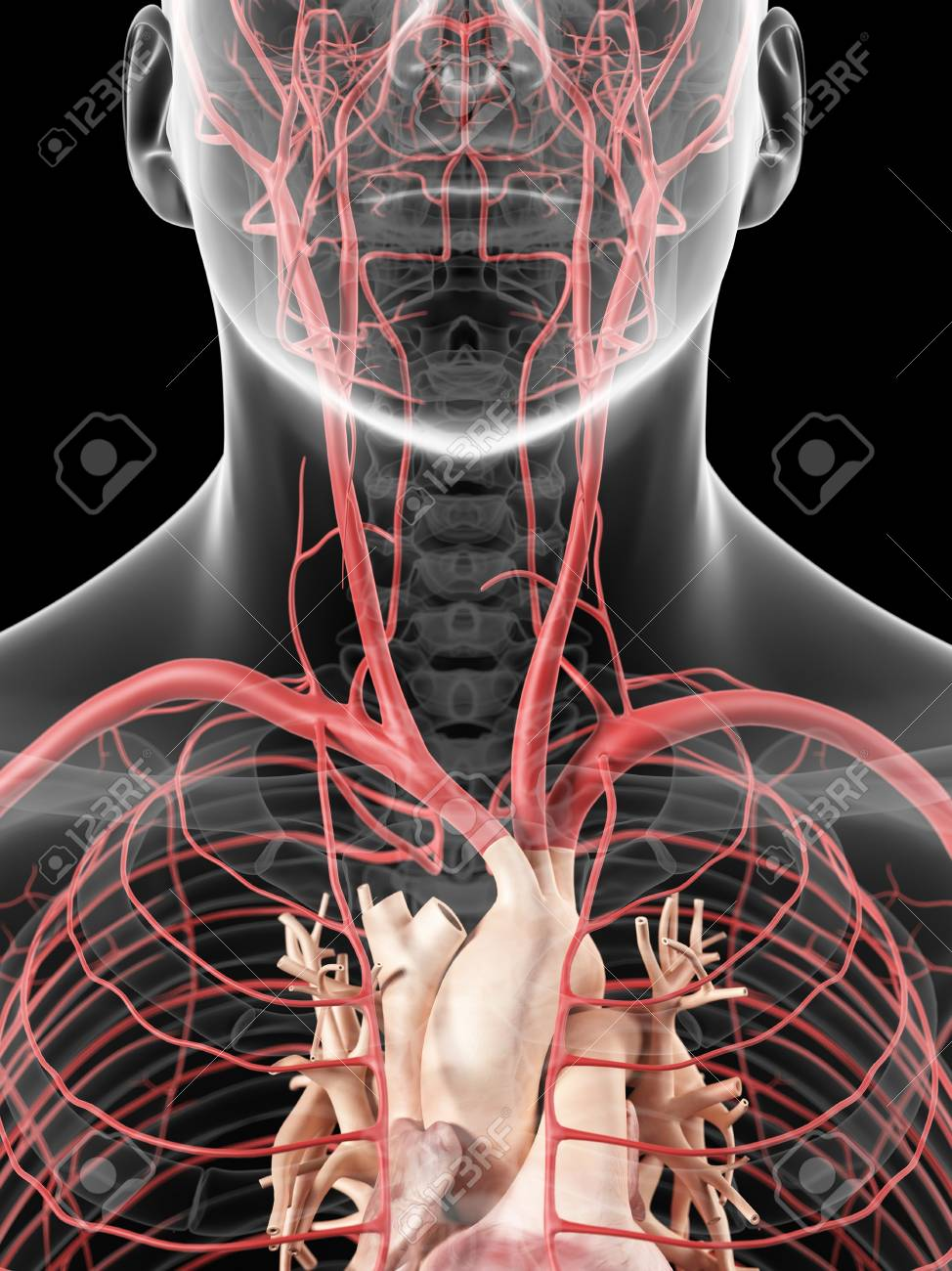 Neck Arteries, Artwork Stock Photo, Picture And Royalty Free Image ...