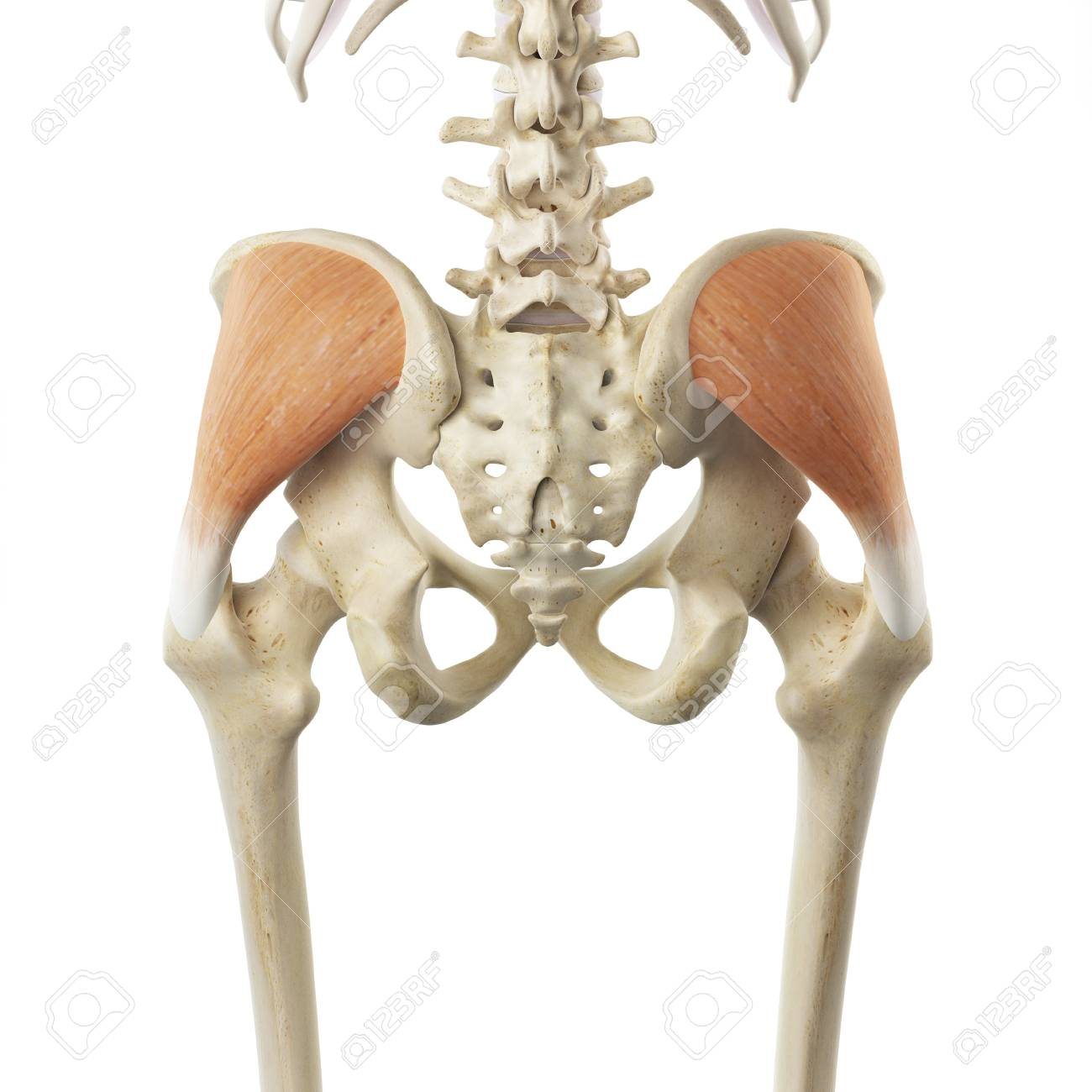 Buttock Muscle, Artwork Stock Photo, Picture And Royalty Free Image ...