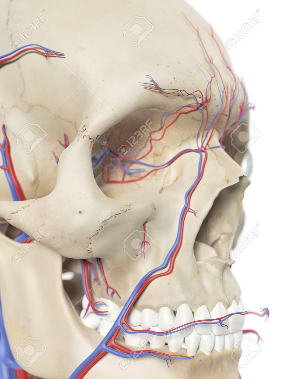 Fantastisch Nerven Im Gesicht Galerie - Anatomie Von Menschlichen ...