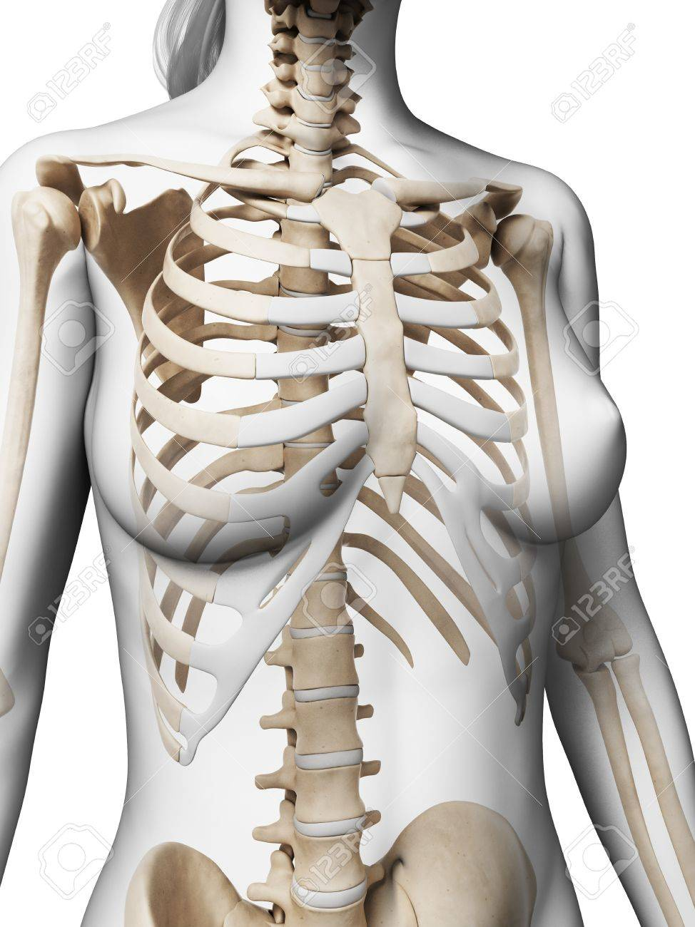 Female Ribcage Artwork Stock Photo Picture And Royalty Free Image
