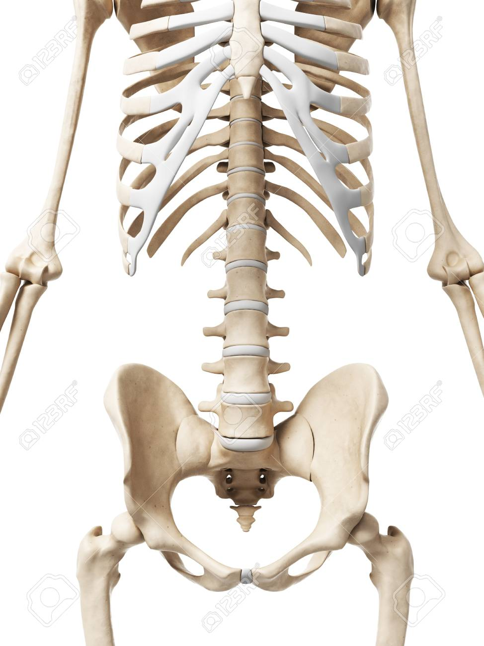 Human Pelvis Computer Artwork Stock Photo Picture And Royalty Free