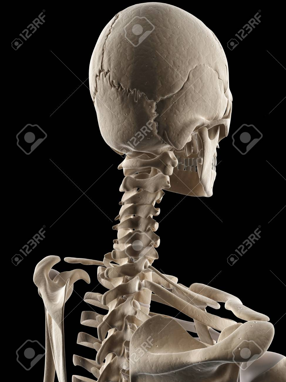 Human Skull And Neck Bones Illustration Stock Photo Picture And