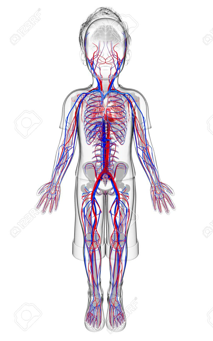 Human Cardiovascular System Computer Artwork Stock Photo Picture