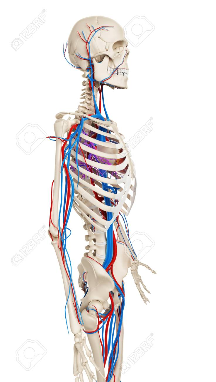 Human Vascular System Illustration Stock Photo Picture And Royalty