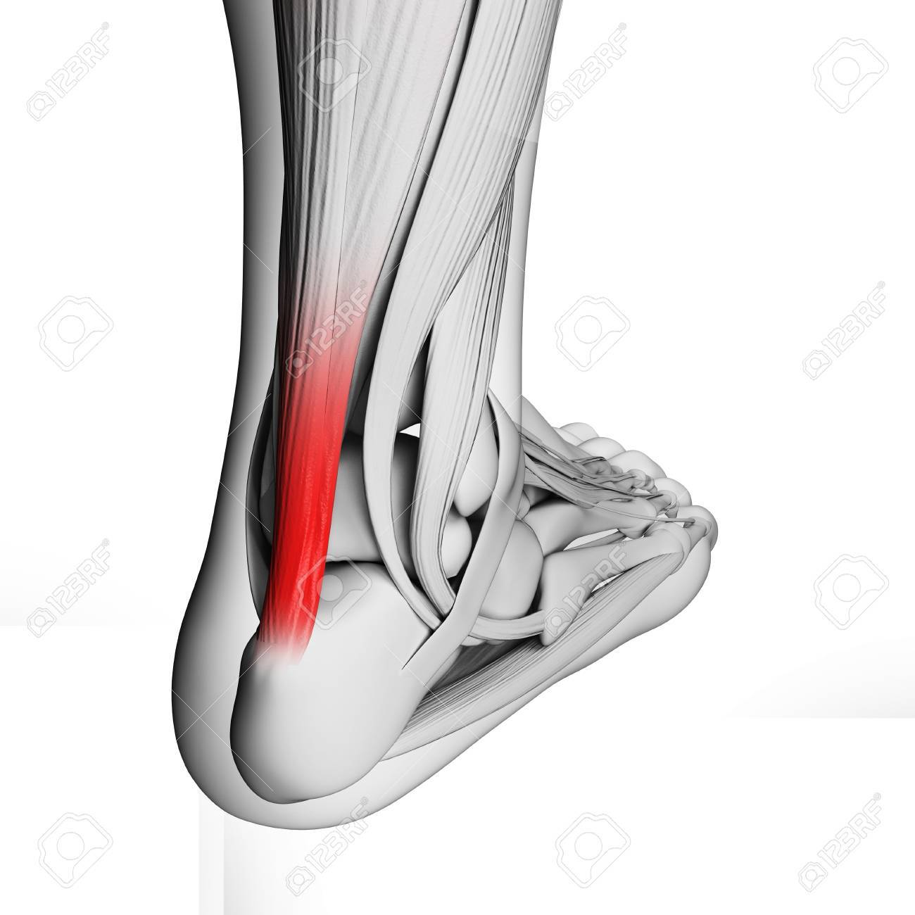 Achilles Tendon, Illustration Stock Photo, Picture And Royalty Free ...