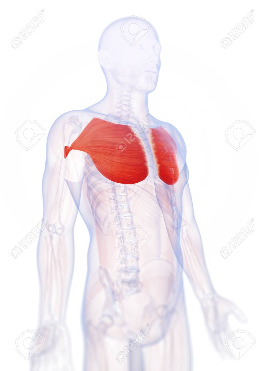 Human Chest Muscles Illustration Stock Photo Picture And Royalty
