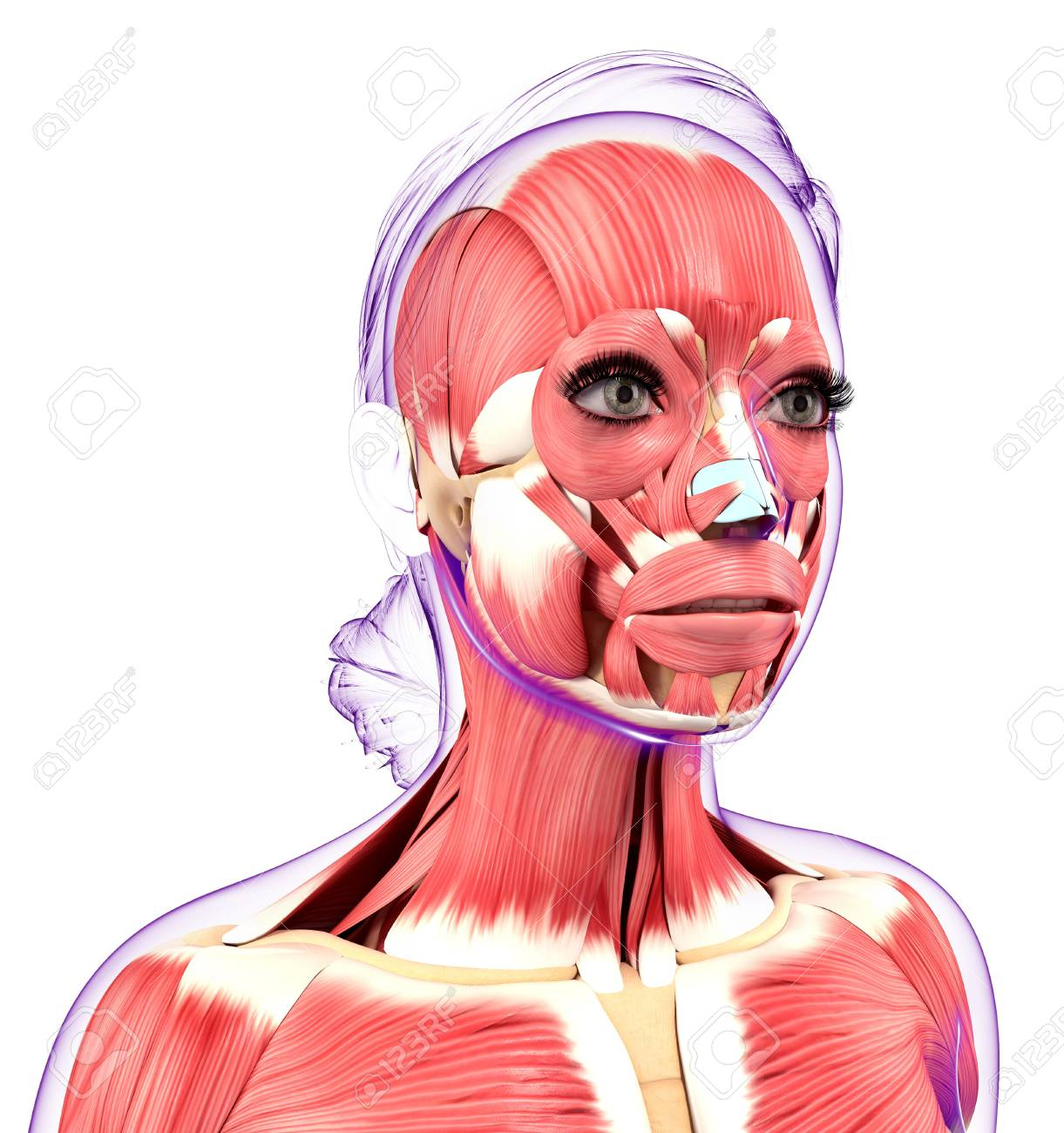 Human Muscular System, Computer Artwork Stock Photo, Picture And ...