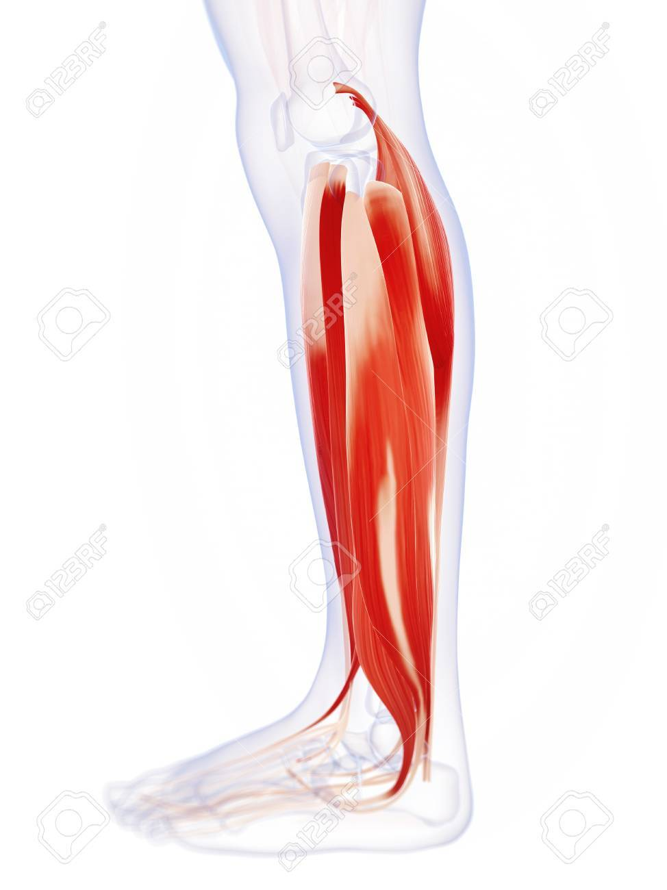 Human Calf Muscles, Computer Artwork Stock Photo, Picture And ...