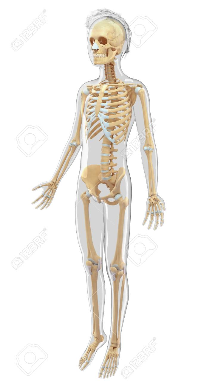 Human Skeletal System Computer Artwork Stock Photo Picture And