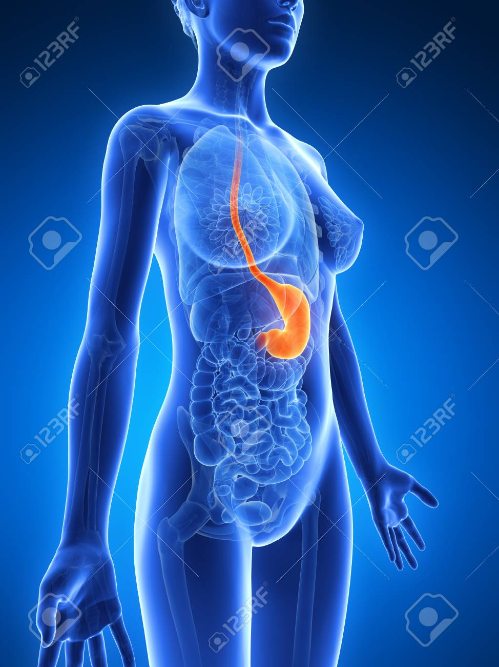Anatomy Of Female Stomach Illustration Stock Photo Picture And