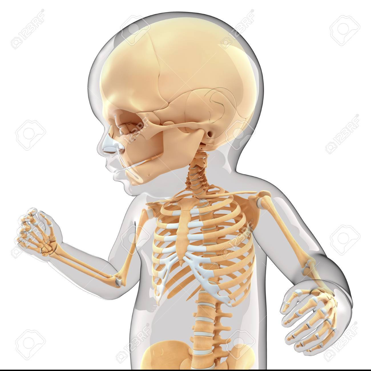 Babys Skeletal System Computer Artwork Stock Photo Picture And