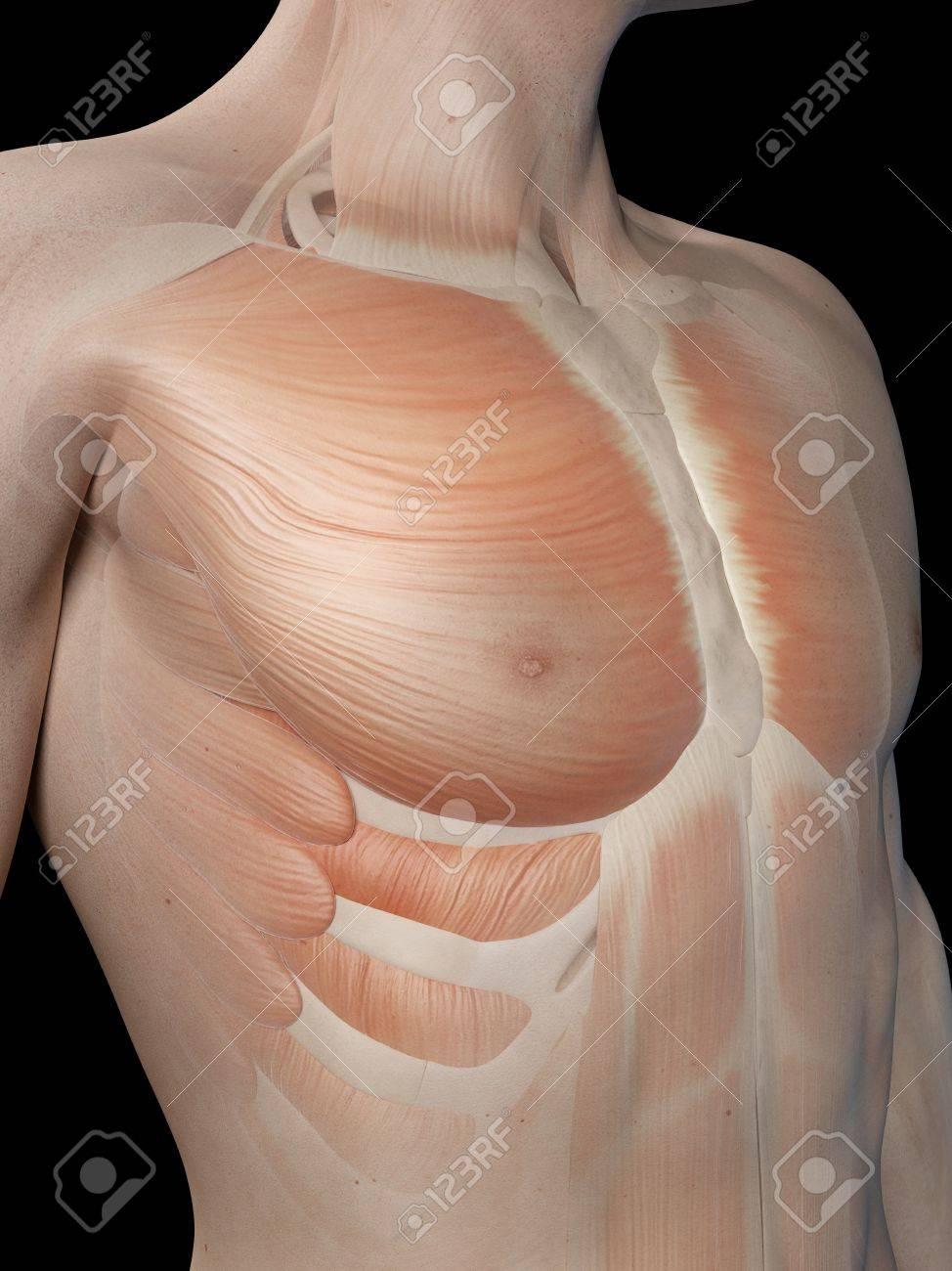 Moderno Diagrama De Pecho Humana Viñeta - Anatomía de Las ...