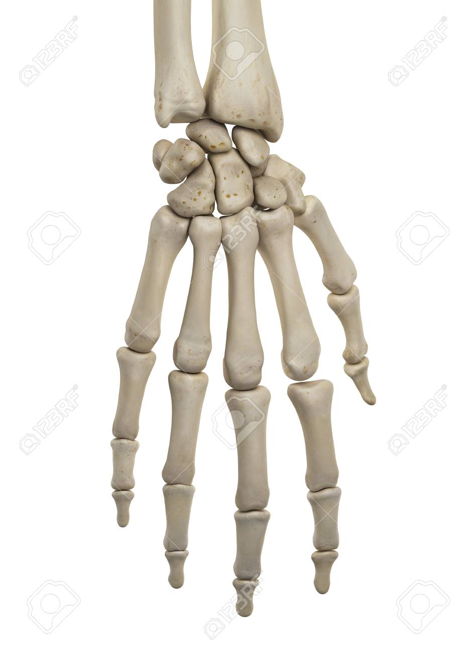 Human Hand Anatomy, Illustration Stock Photo, Picture And Royalty ...