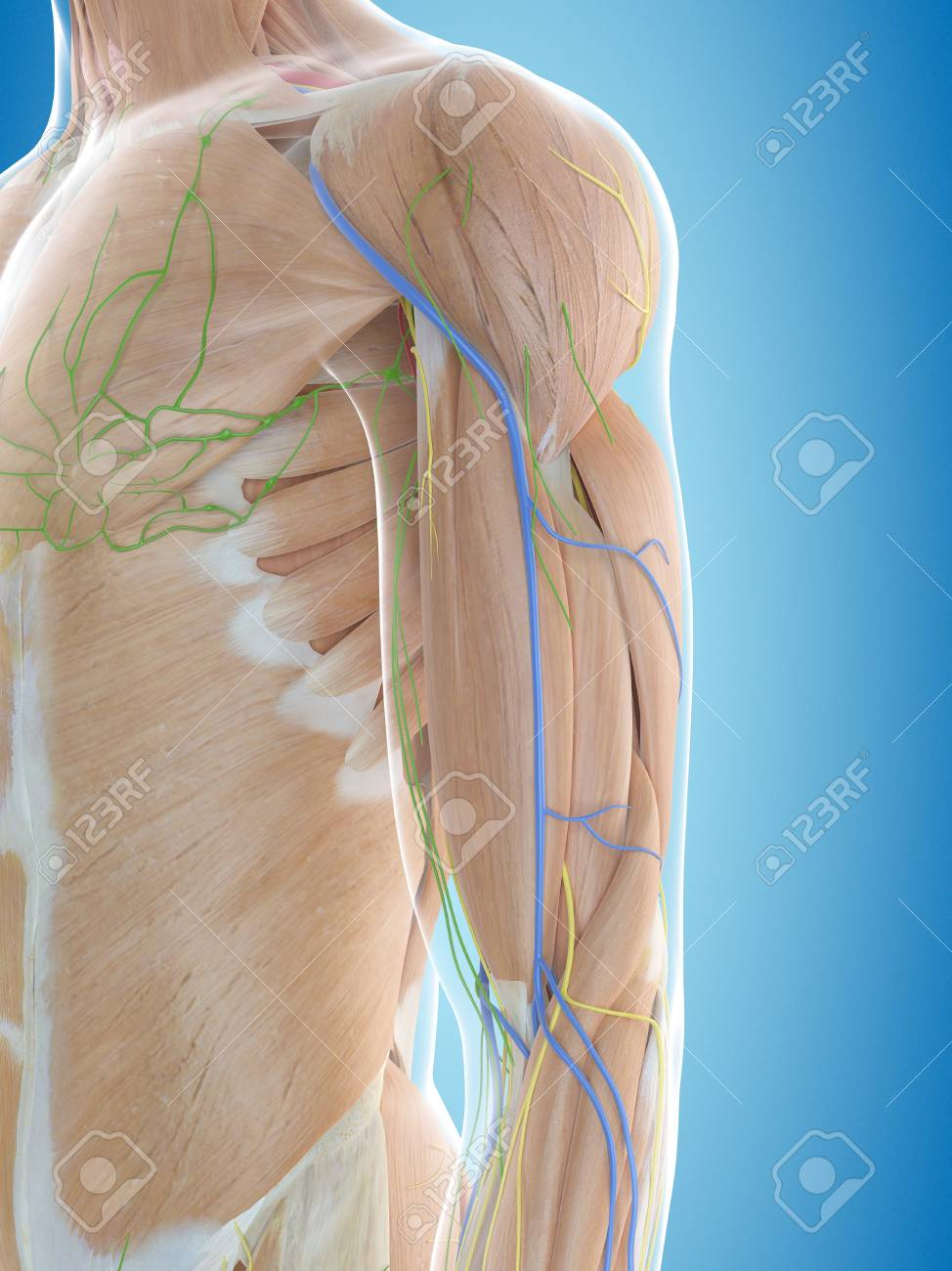 Lujoso Hombro Anatomía Foto - Imágenes de Anatomía Humana ...
