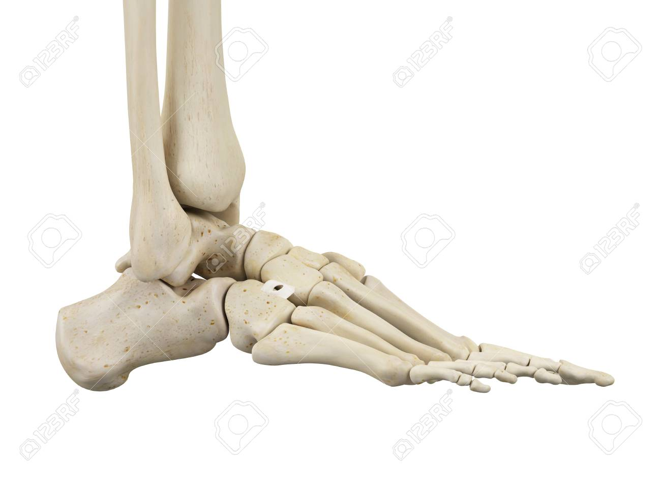 Human Foot Anatomy, Illustration Stock Photo, Picture And Royalty ...