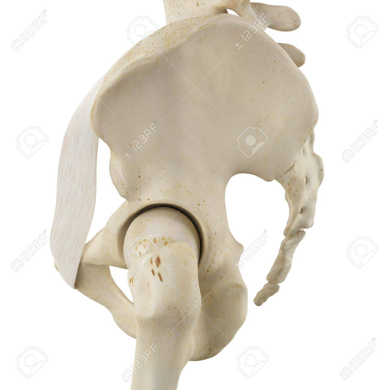 Human Pelvis Bones, Illustration Stock Photo, Picture And Royalty ...