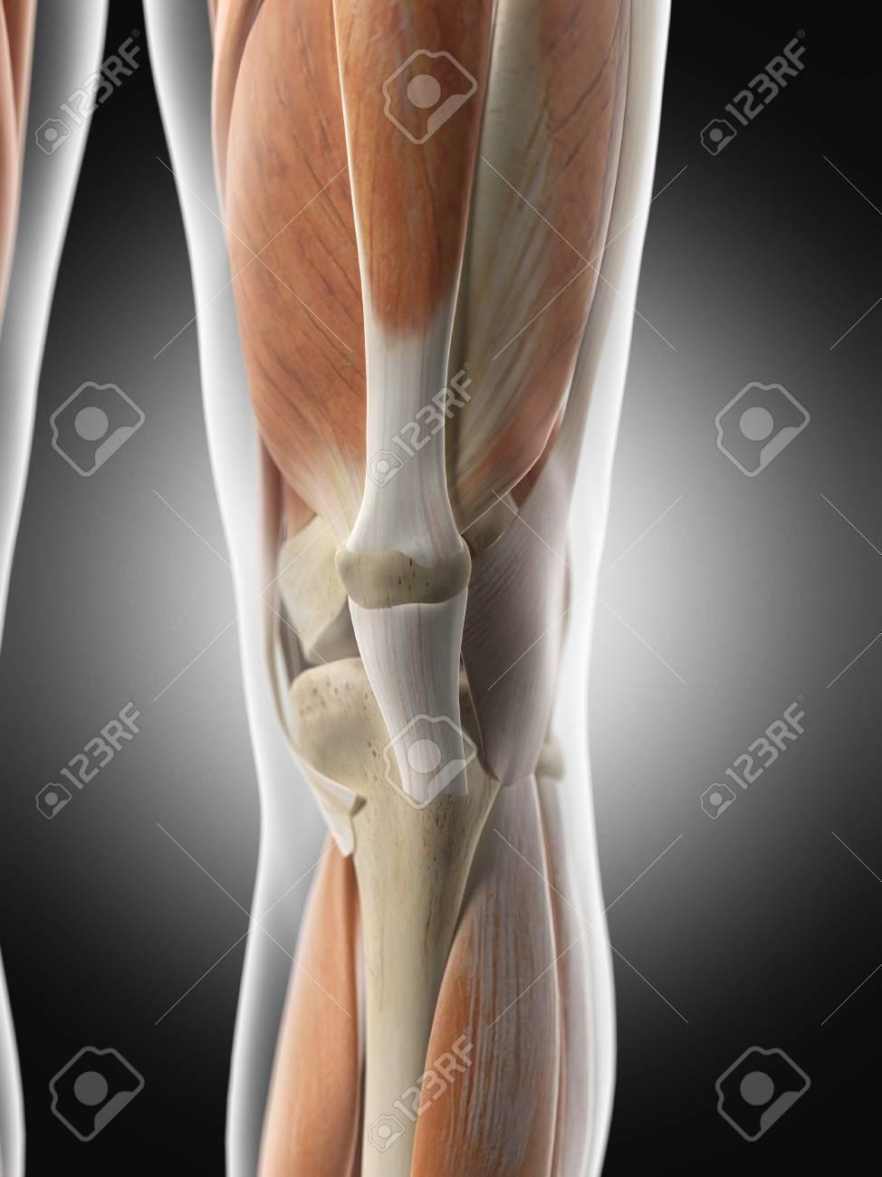 Músculos Del Brazo Humano, Ilustración Fotos, Retratos, Imágenes Y ...