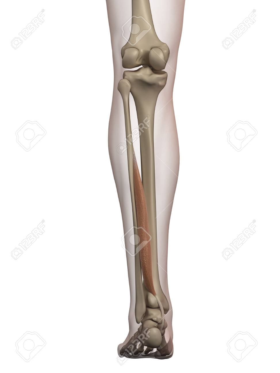 Atractivo Músculo De La Pierna Patrón - Anatomía de Las Imágenesdel ...