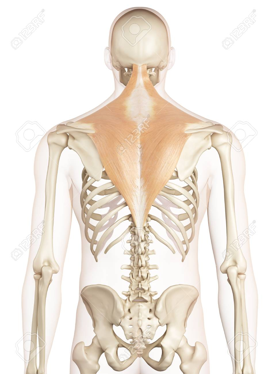 Human Back Muscles Illustration Stock Photo Picture And Royalty