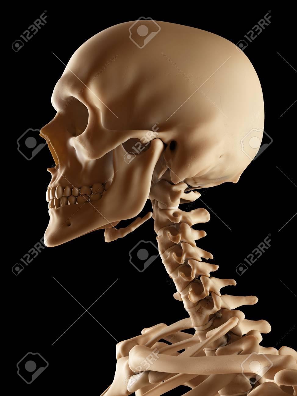 Human skull and neck bones illustration stock photo picture and human skull and neck bones illustration stock photo 77547778 ccuart Choice Image