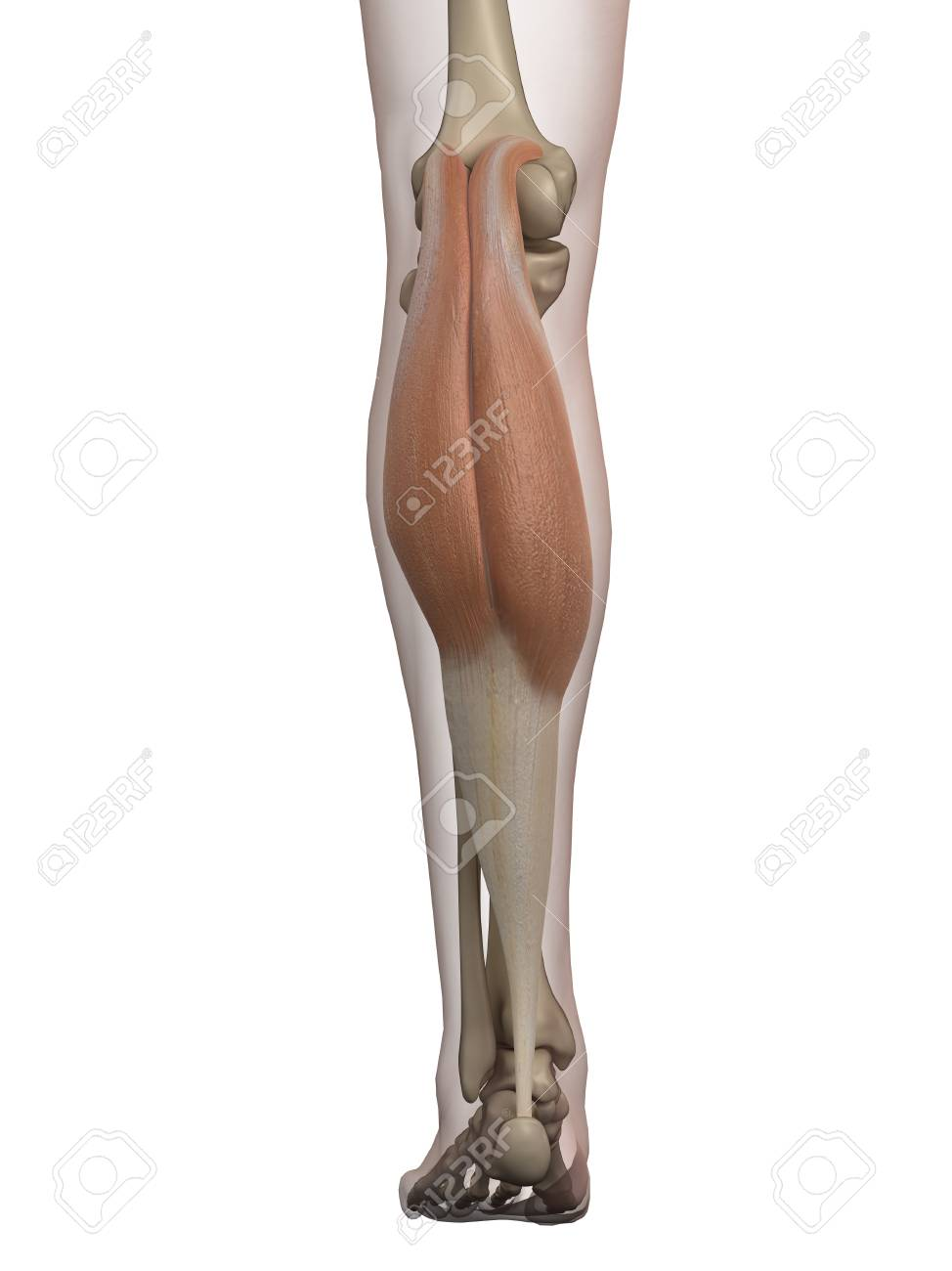 Human Calf Muscle, Illustration Stock Photo, Picture And Royalty ...