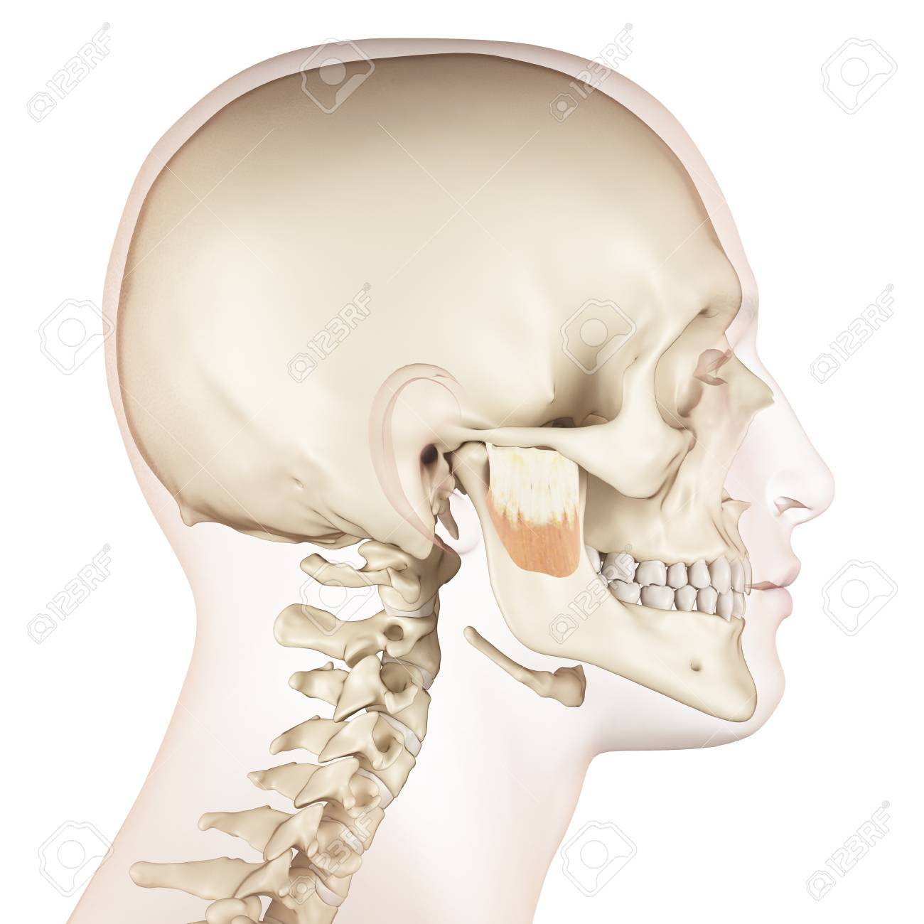 Human Jaw Muscles Illustration Stock Photo Picture And Royalty