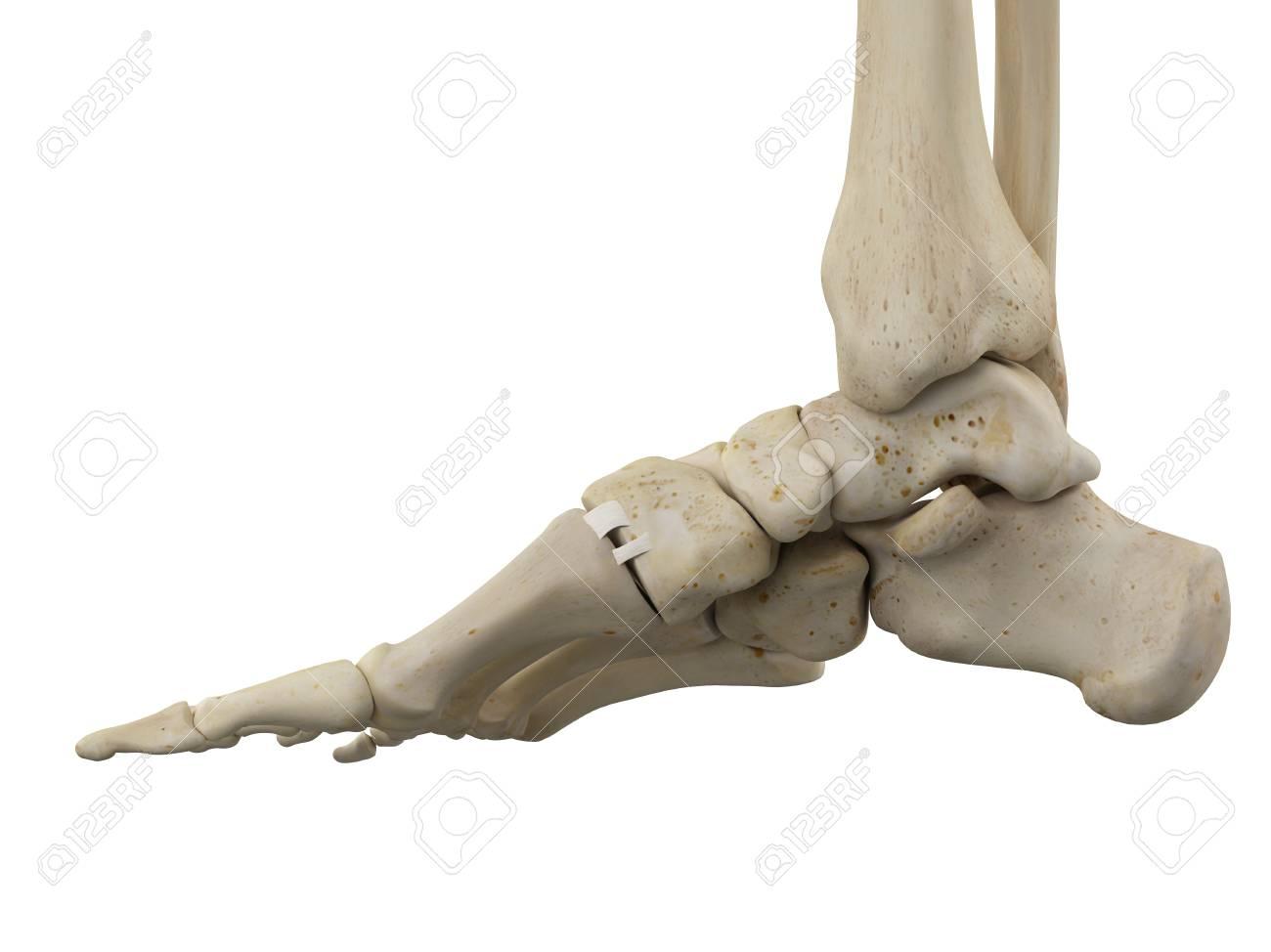 Huesos Del Pie Humano, Ilustración Fotos, Retratos, Imágenes Y ...