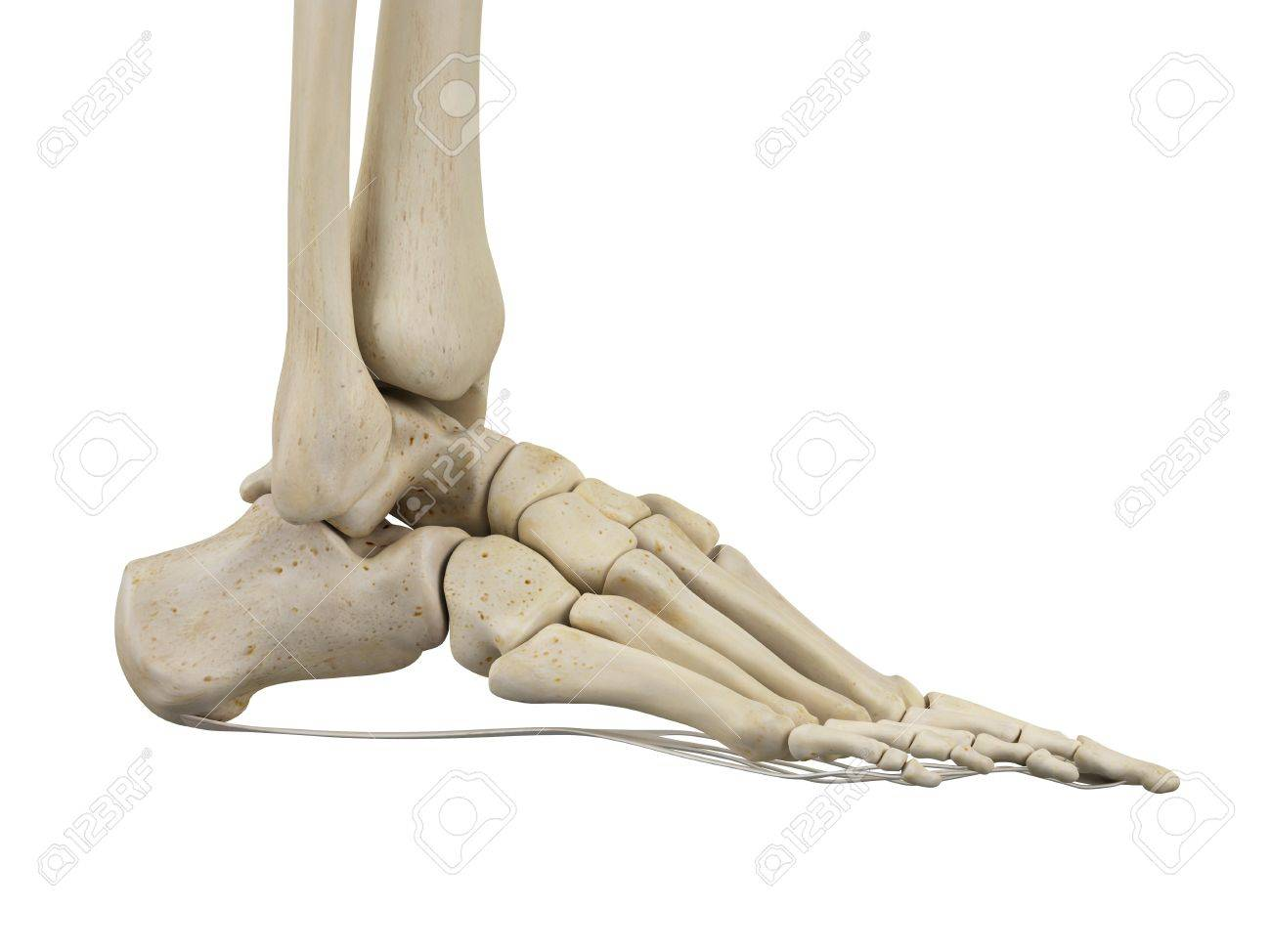 Human Foot Ligaments Illustration Stock Photo Picture And Royalty