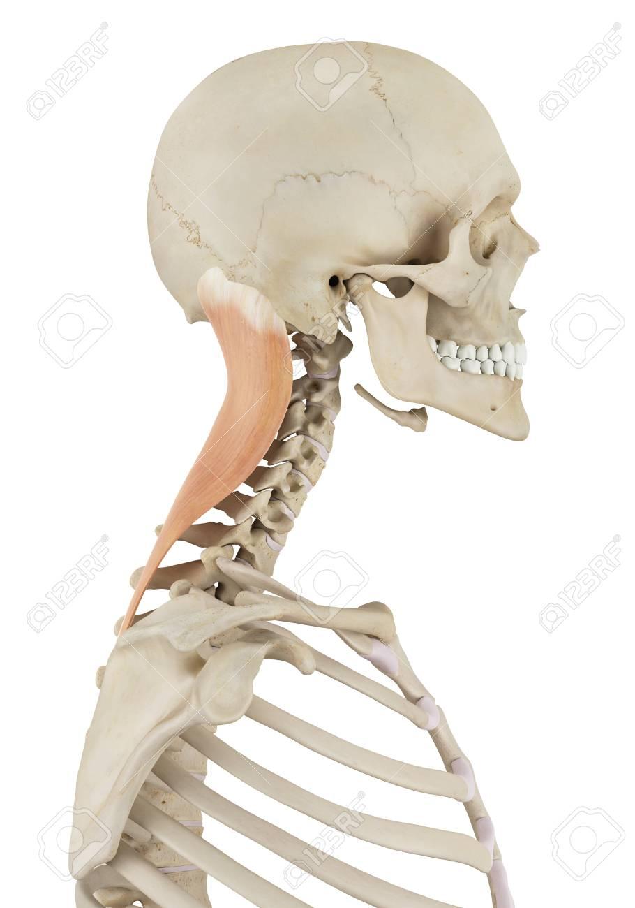Contemporáneo Cuello Diagrama Músculo Del Hombro Adorno - Imágenes ...