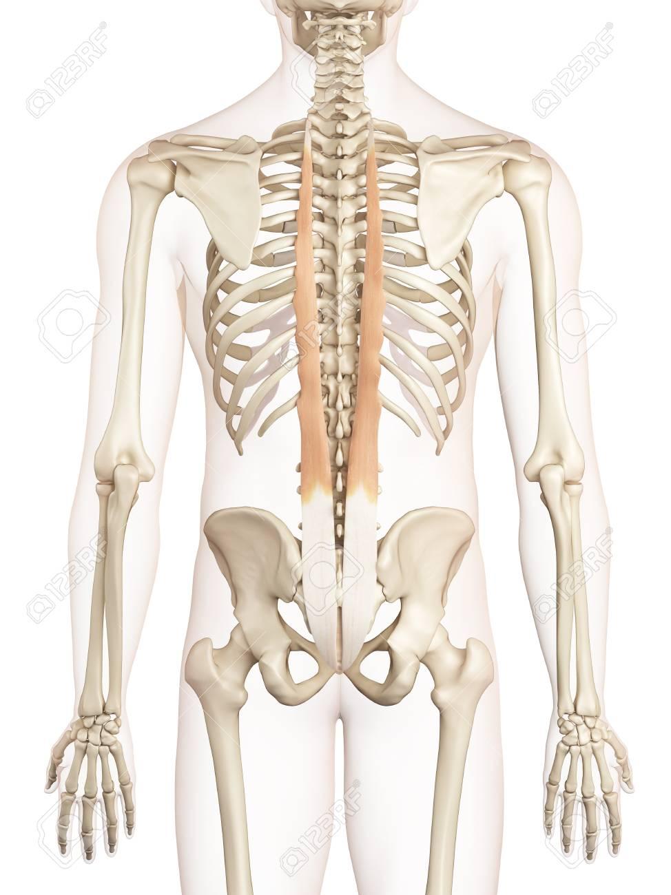 Menschliche Rückenmuskulatur, Illustration Lizenzfreie Fotos, Bilder ...