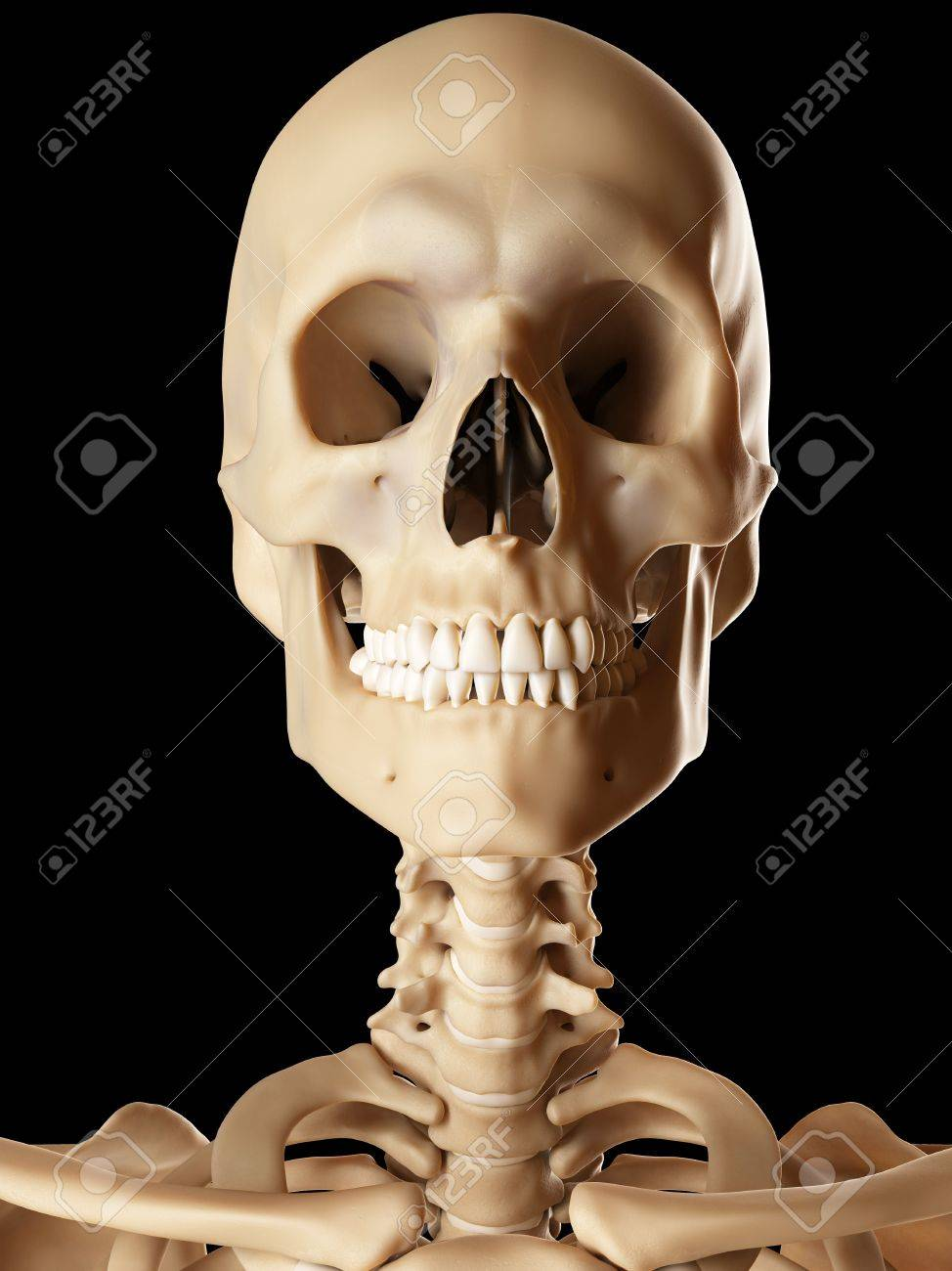 Human skull and neck bones illustration stock photo picture and human skull and neck bones illustration stock photo 76283768 ccuart Gallery