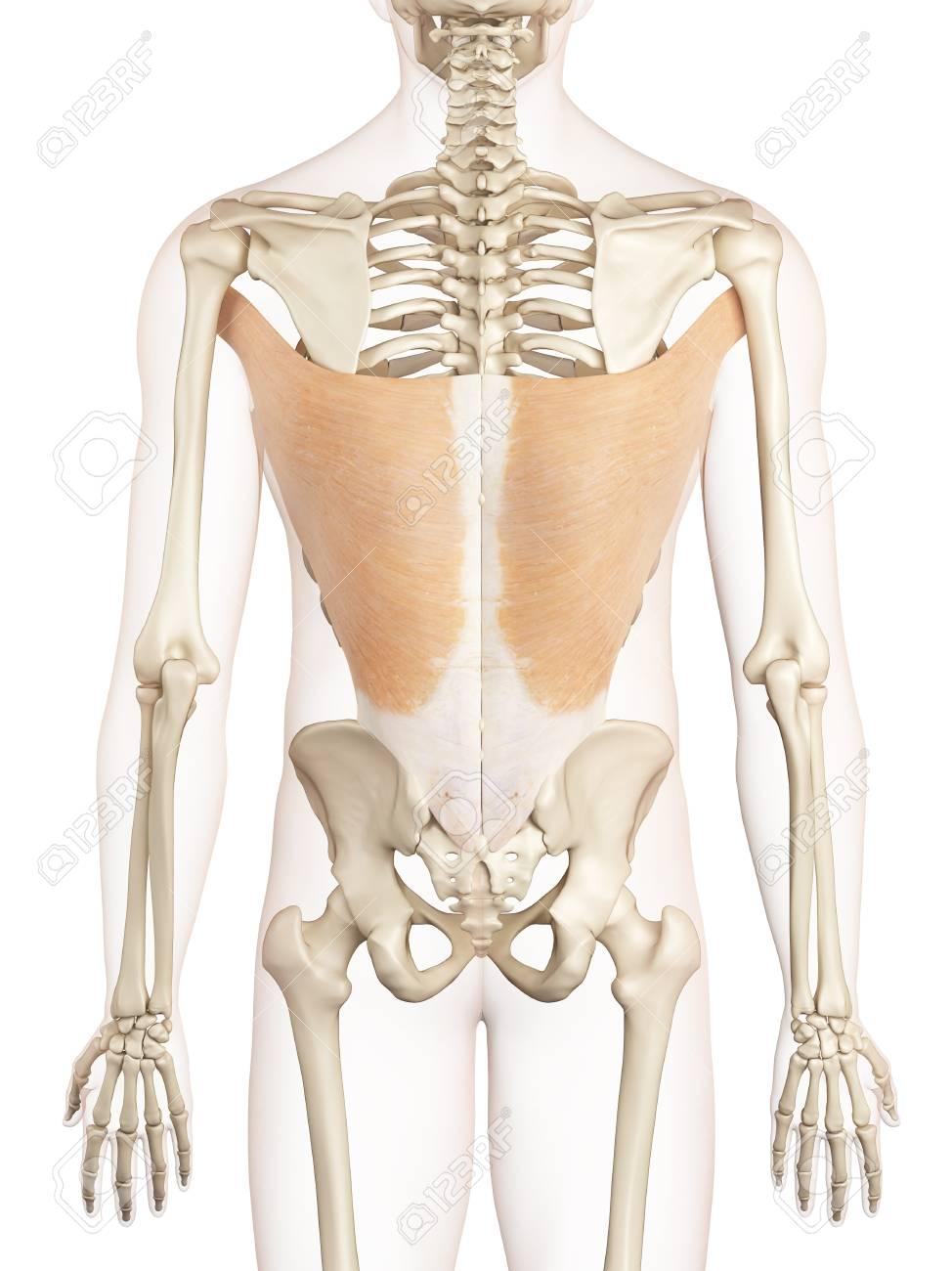 Lujoso Diagrama De Los Músculos De La Espalda Composición - Anatomía ...
