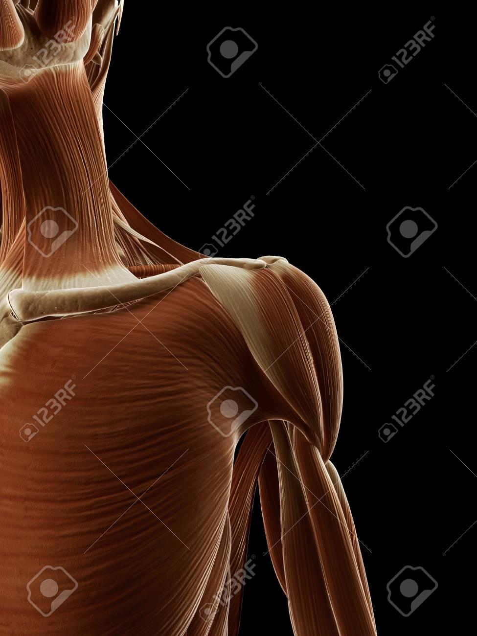 Lujo Diagrama De Músculo Del Hombro Humano Festooning - Anatomía de ...