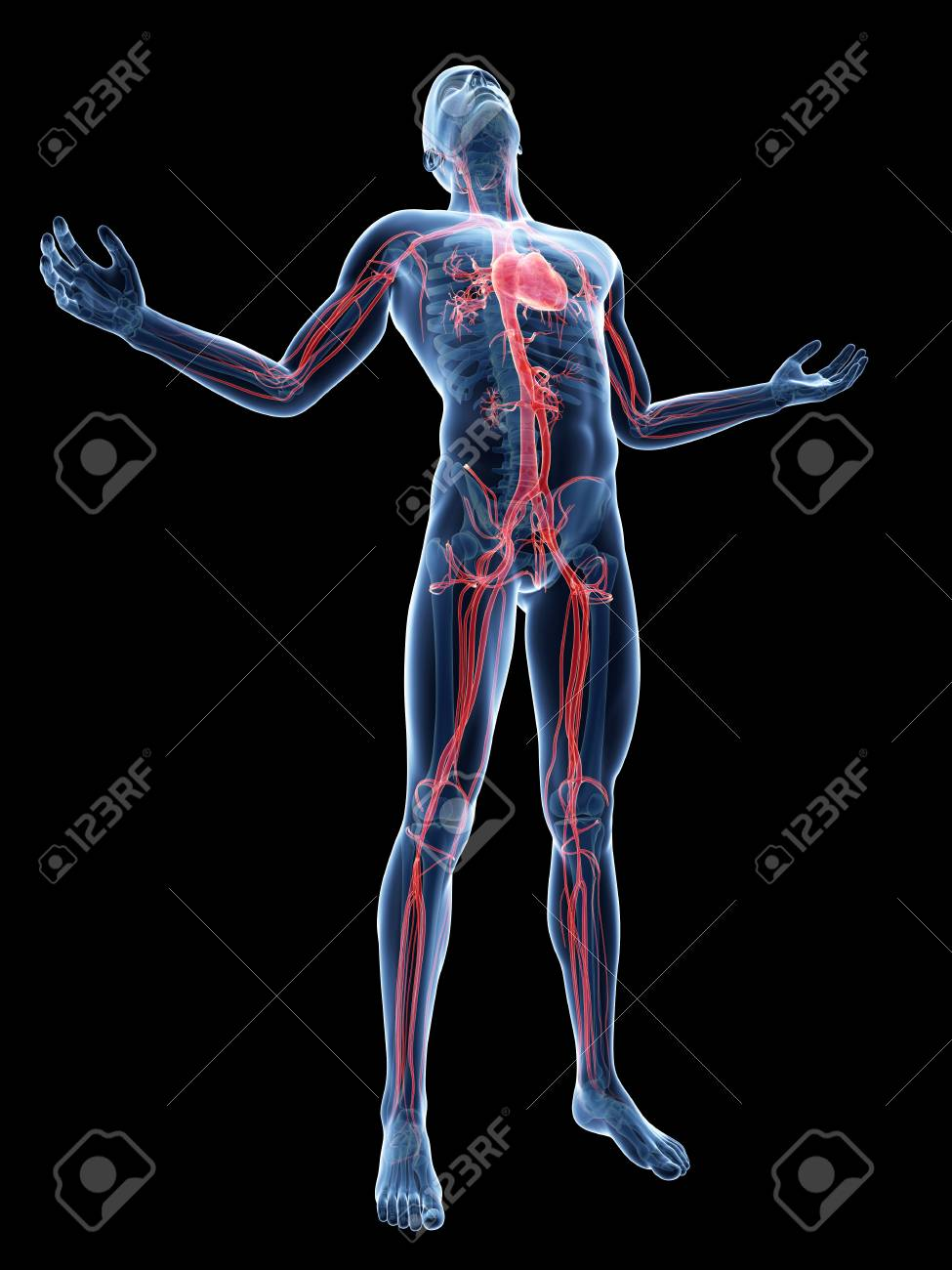 Human Vascular System, Illustration Stock Photo, Picture And Royalty ...