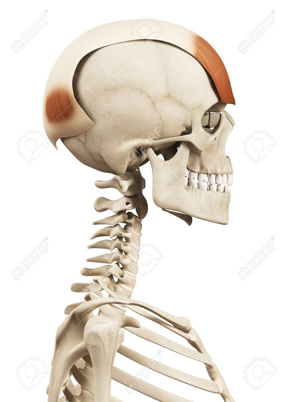 Human Head Muscles, Illustration Stock Photo, Picture And Royalty ...