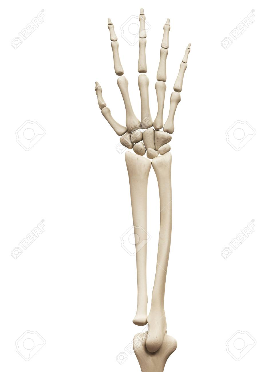 Arm And Hand Bones, Illustration Stock Photo, Picture And Royalty ...